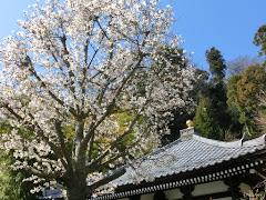 長谷寺のコブシ
