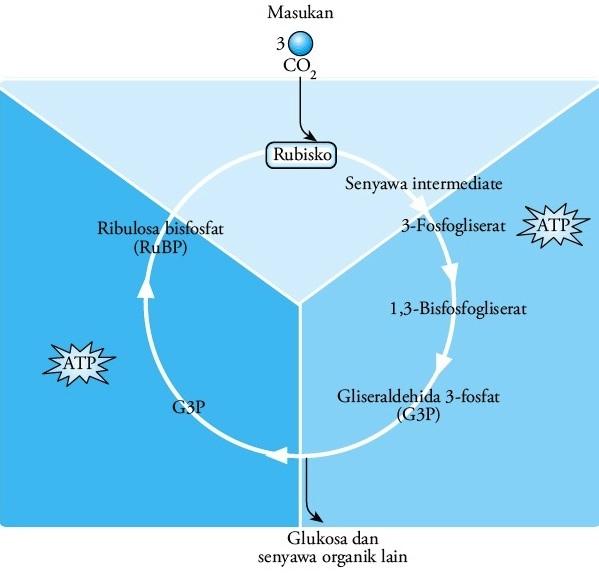 Pengertian Katabolisme dan Tahapannya (Lengkap!)