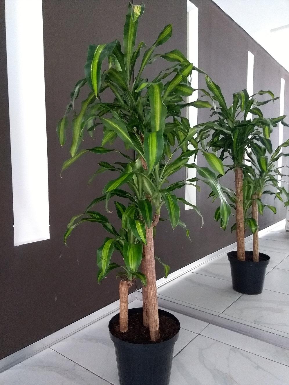 Dracaena fragrans «palo de agua» - Id Plantae