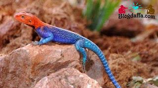 Red-Head Agama atau kadal Spiderman reptil unik untuk dipelihara