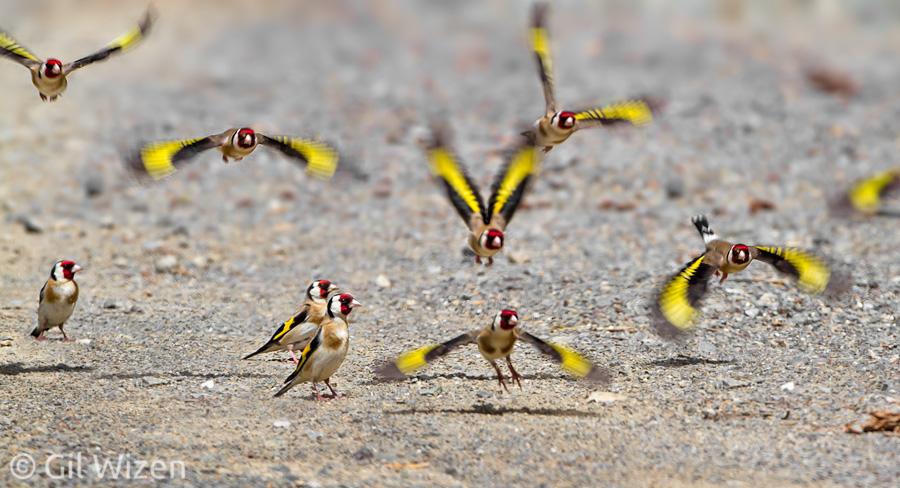 الحسون, طائر الحسون, انقراض, اختفاء, طيور الحسون, الحسون البري, صيد الحسون, انقراض الحسون