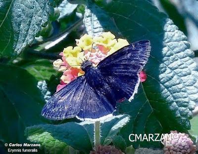 Mariposa saltarína funebre (Erynnis funeralis)