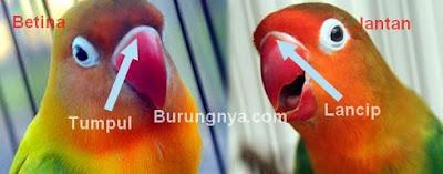 Lovebird-jantan-dan-betina