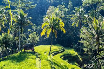 Rizieres-Gunung Kawi-Bali