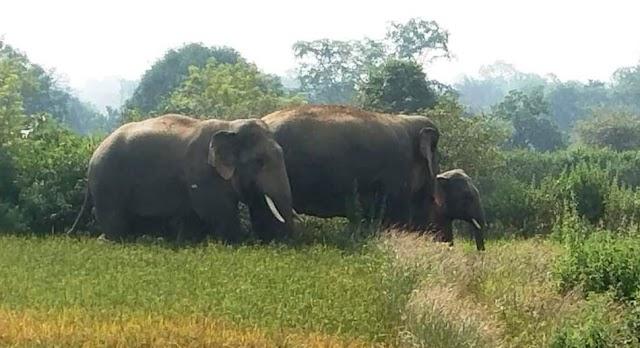 BREAKING पत्रवार्ता : पत्थलगांव के कछार में हाथियों का आतंक,कछार गाँव में घुसे 3 हाथी,धान की खड़ी फसल को किया बरबाद,वन अमला पंहुचा मौके पर,ग्रामीणों में दहशत का महौल