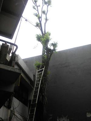 Spesialis-ahli-tebang-pohon-semarang