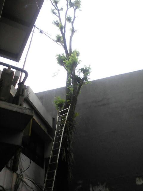 jasa-tebang-pohon-surabaya-2021