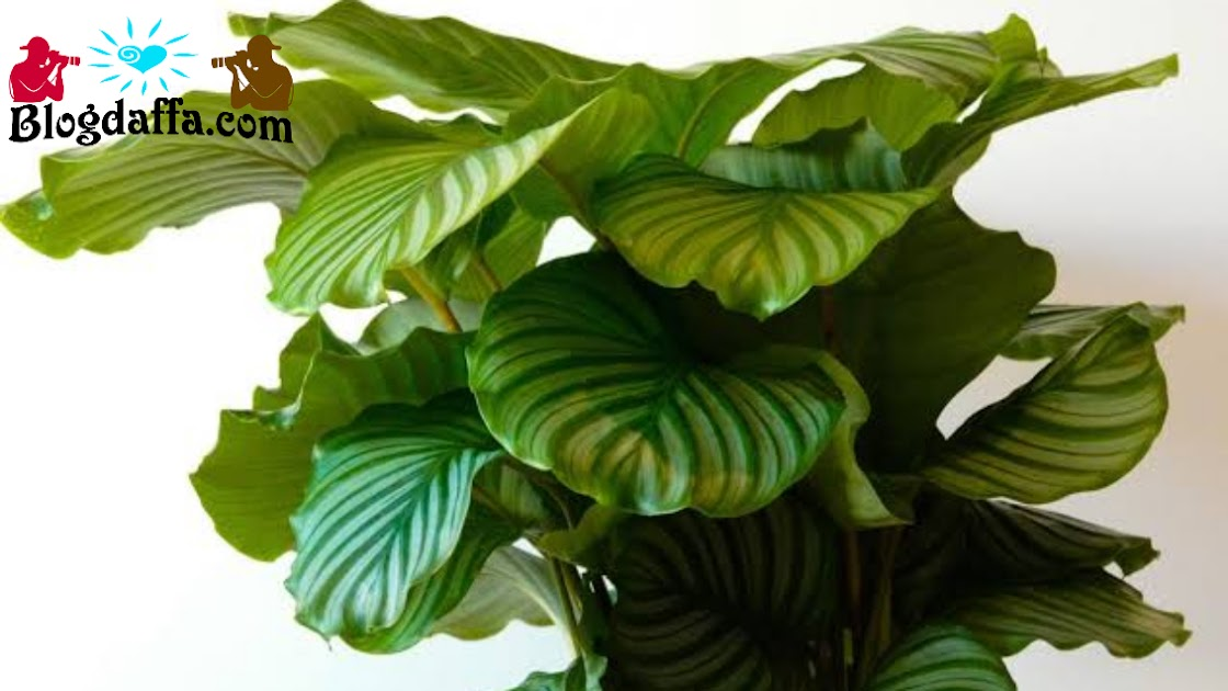 Tanaman hias Calathea Orbifolia