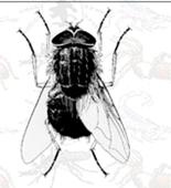 lalat merupakan arthropoda yang berperan sebagai vektor penakit