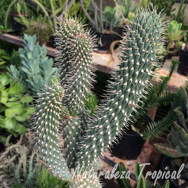 Vista de los tallos característicos del cactus Choya, Cylindropuntia fulgida