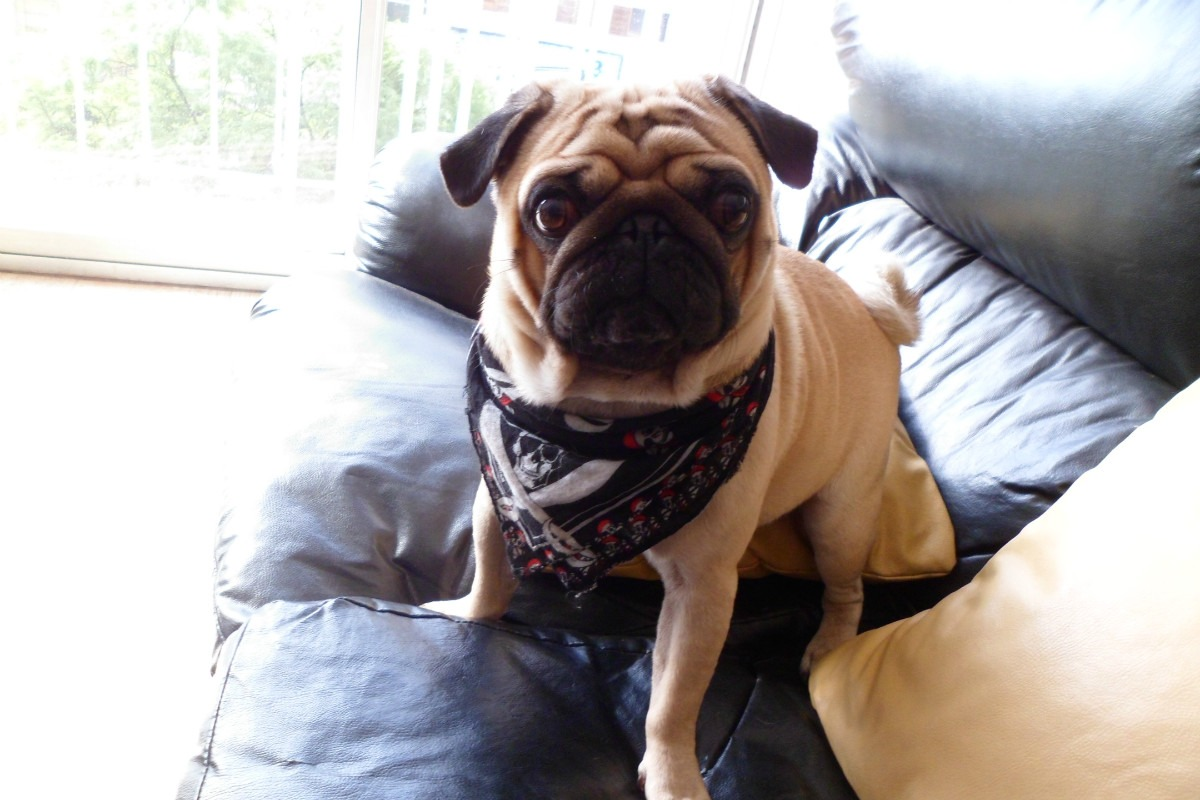 All Wallpapers Pug Dog Hd Wallpapers: Carlino Pug Best HD Wallpapers 2013