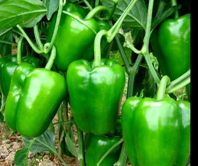 Capcicum health benefits