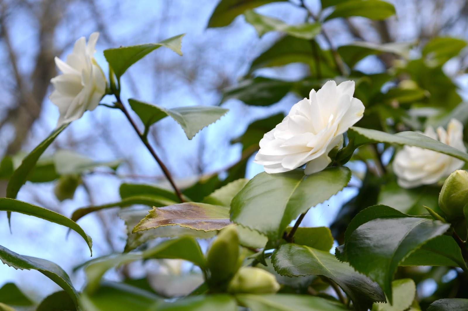 Howick Hall Gardens, Northumberland - Daffodil Season