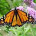 Fakta Menarik dan Metamorfosis Kupu kupu
