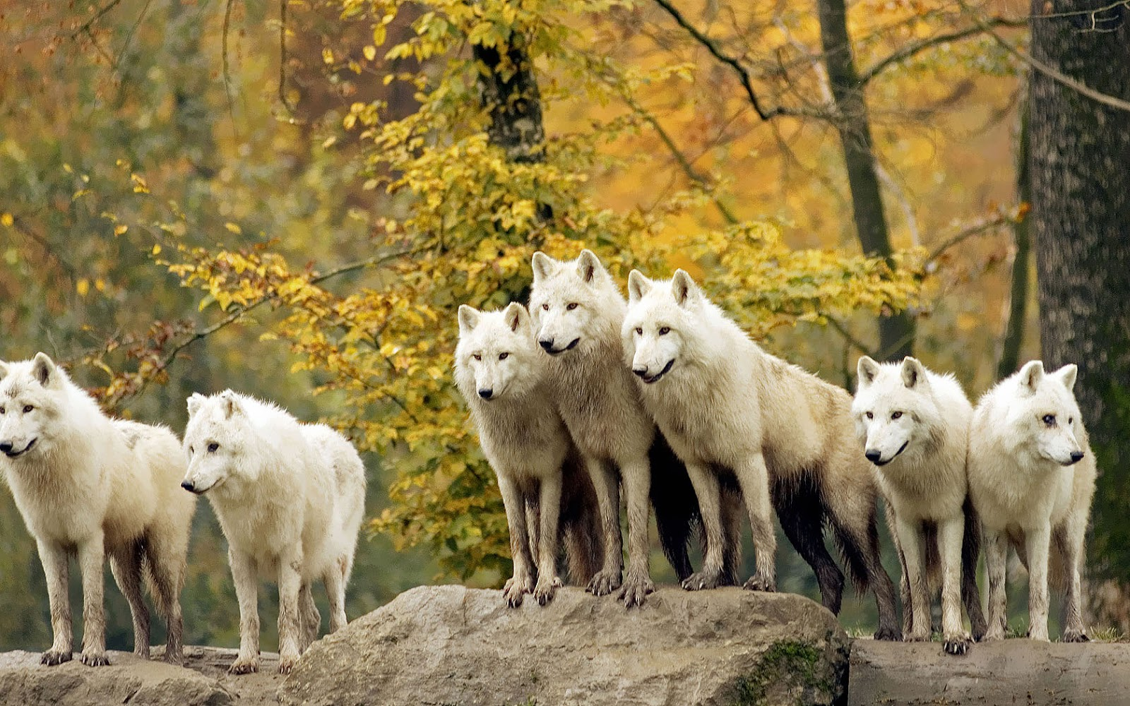 wild wolf pack wallpaper - photo #30
