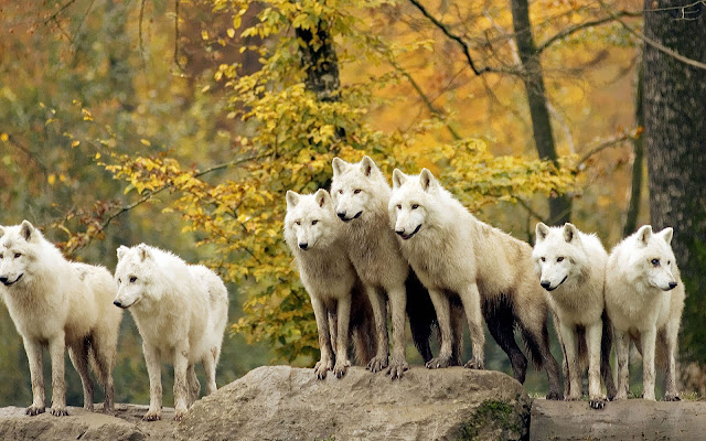 Black And White Wallpaper With Wolves Hd Animals Wallpapers