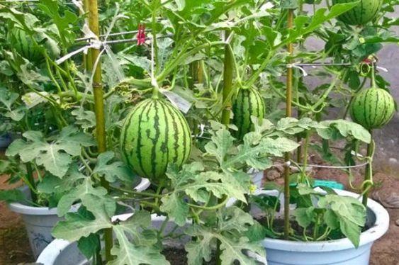 زراعة البطيخ watermelon من البذور في المنزل وكيفية اختيار البطيخة