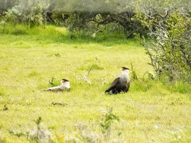 Birds of Patagonia: pair of crested caracaras