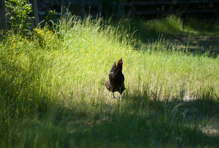 What's the Average Lifespan of a Backyard Chicken? | Fresh Eggs Daily®