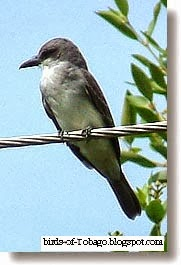 Gray Kingbird (Tyrannus dominicensis) GRey Kingbird