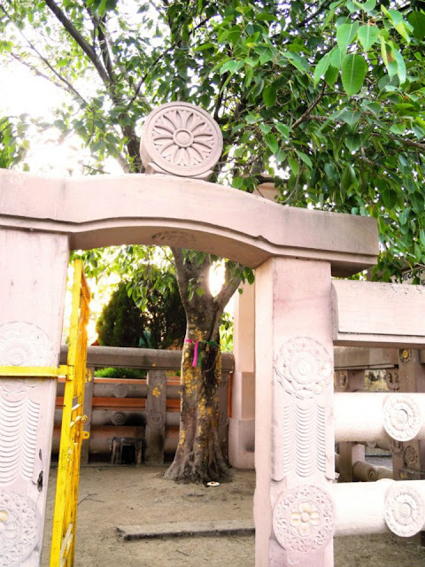 The Rajayatana Tree (a kind of Forest Tree) at the Mahabodhi Temple, Bodhgaya. Lord Buddha spent the seventh week after his enlightenment meditating under this tree.