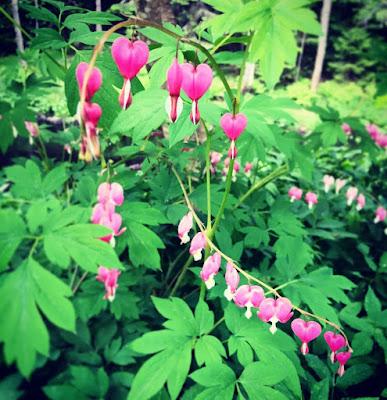 sydämen muotoiset kukat roikkuvat kaartuvista varsista särkynytsydämessä