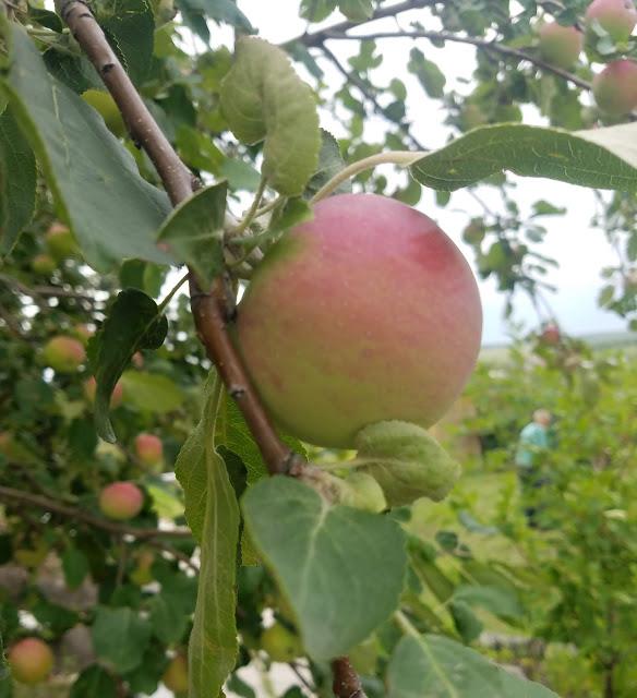 мои 92 дня лета, яблоки на даче