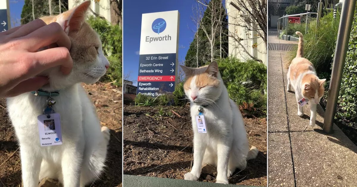 Cat Lands Job As Security Guard At Hospital In Australia Unbeknownst To His Owner