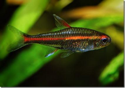 Các loài cá neon đẹp và cách nuôi cá Neon xanh trong hồ thủy sinh