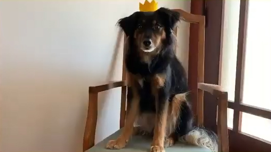 The Old King (dog) sits on a chair wearing his crown. Extract from The Prince and the Pea, the canine fairy tale to make you happy right now
