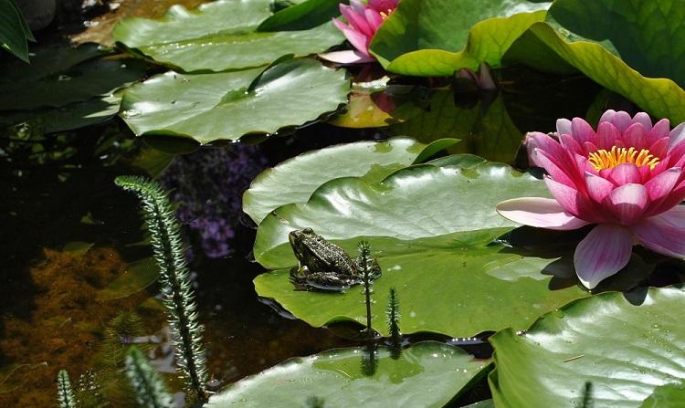 Libellen, Wasserläufer und Frösche