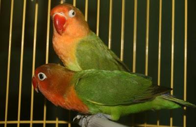 Ciri Ciri Fisik Dari Jenis Burung Lovebird Holland Paling Akurat