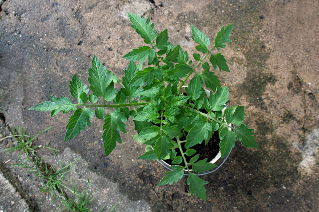 The Victory Garden - Alacante Tomato Plant growing in a Paint pot