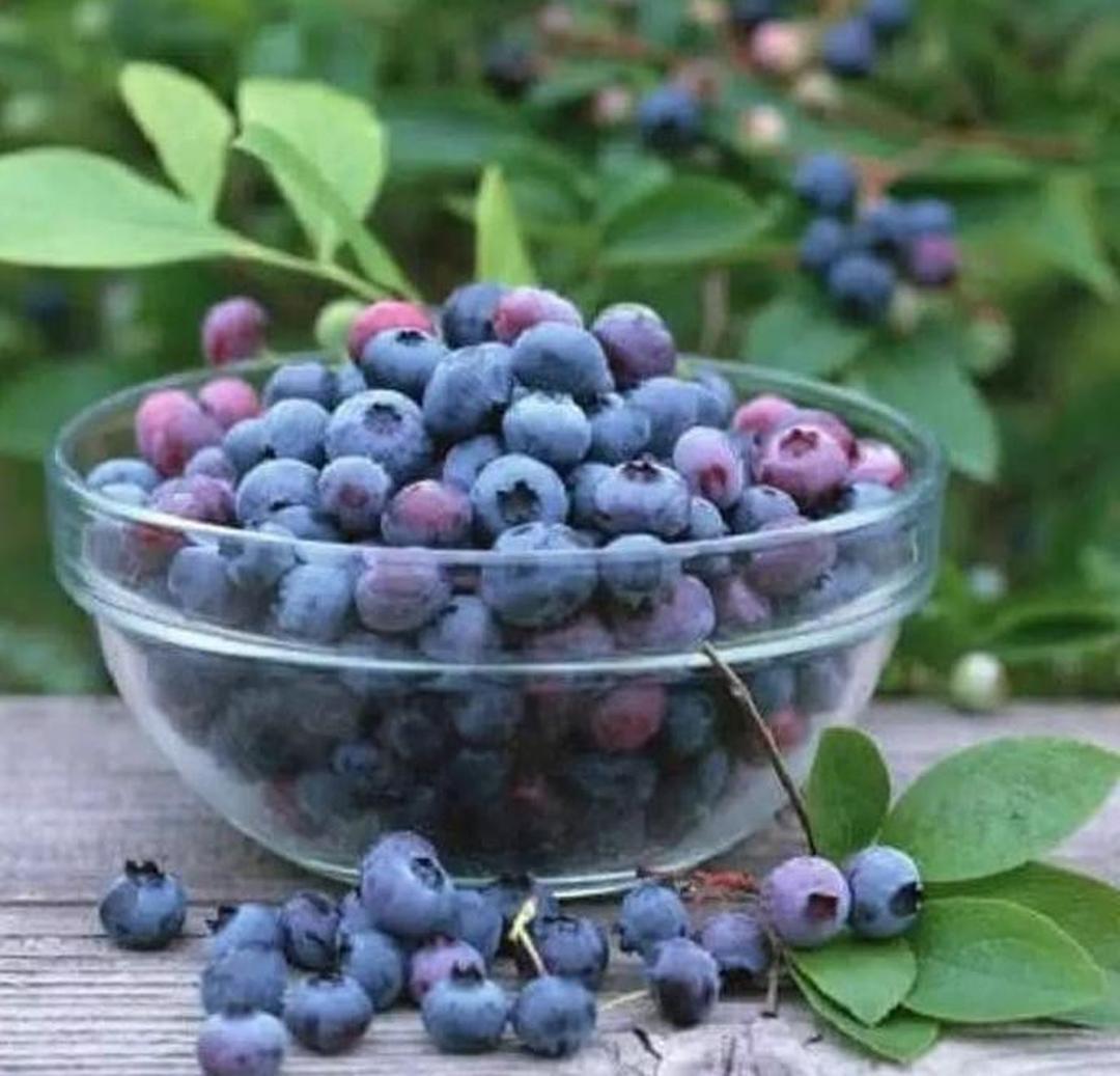Bisa Partai Besar! Hrv Bibit Benih Biji Buah Blueberry Import Vaccinium Formosum Isi 25 Biji Kota Bandung #bibit buah buahan