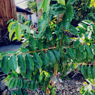 Tanaman herbal, daun sirsak