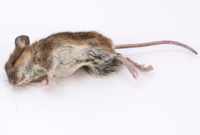Gambar tikus mati