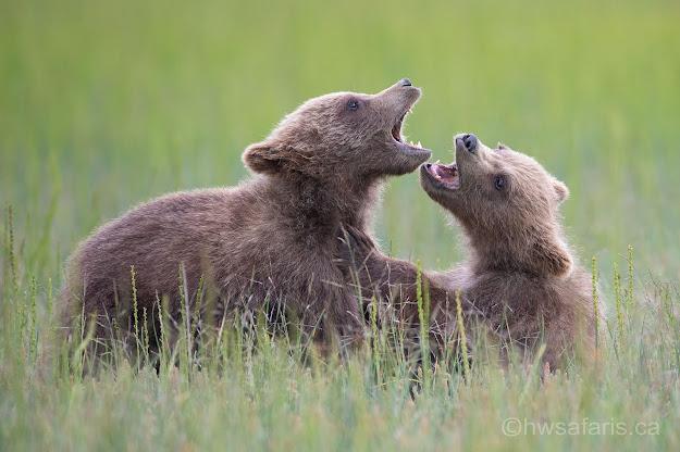 Spring Cub Brown Bears Playing