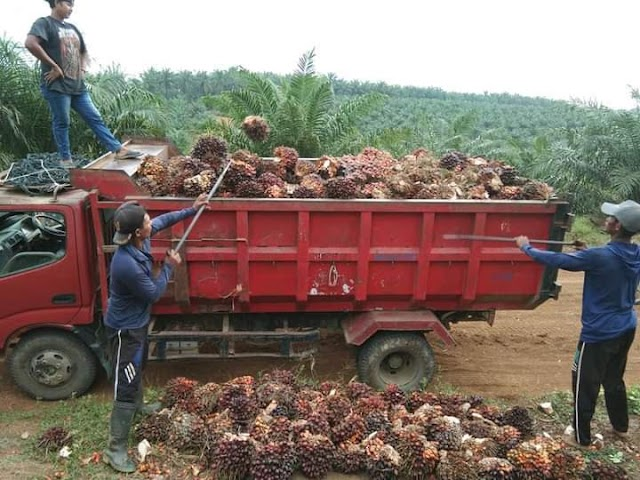 20 Hektar Lebih TKD Ditanam Sawit, Kades : Untuk Meningkatkan PADes