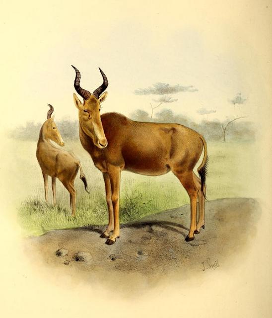 Alcelaphus buselaphus buselaphus