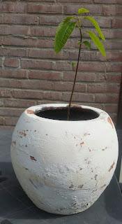 Avocadoplant uit pit kweken