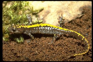 salamandra de dedos largos Ambystoma macrodactylum