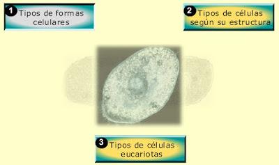 http://recursostic.educacion.es/secundaria/edad/1esobiologia/1quincena8/imagenes1/organizacion_celular.swf