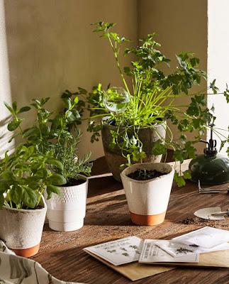 semillas hierbas aromáticas