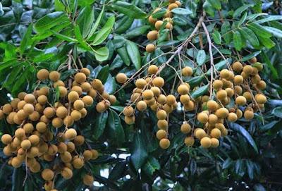 cara mencangkok pohon kelengkeng dengan mudah