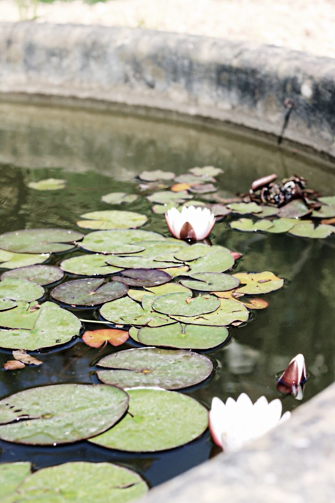 Lilies on pond water