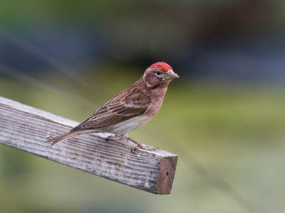 Photo of Cassin's Finch on feeder post