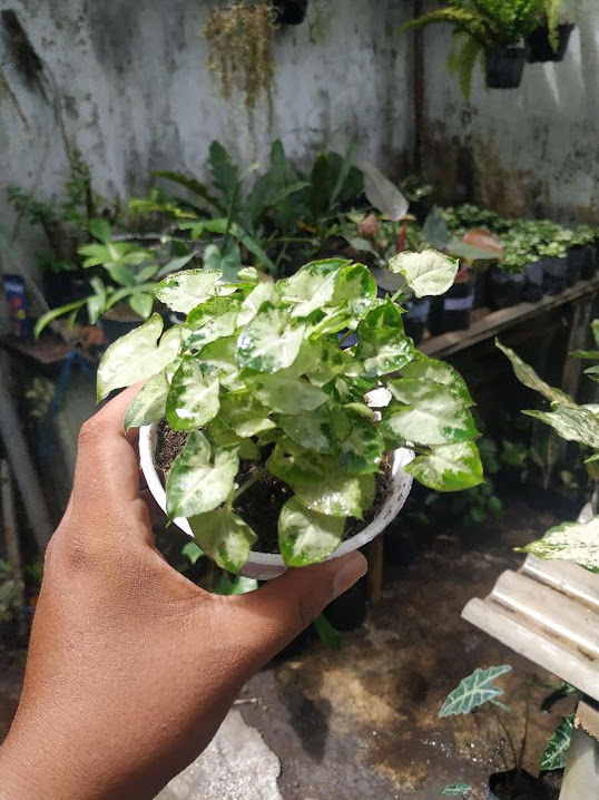 Keladi liliput Keladi mini liliput mini Tanaman hias Bunga Hias Sumatra Barat