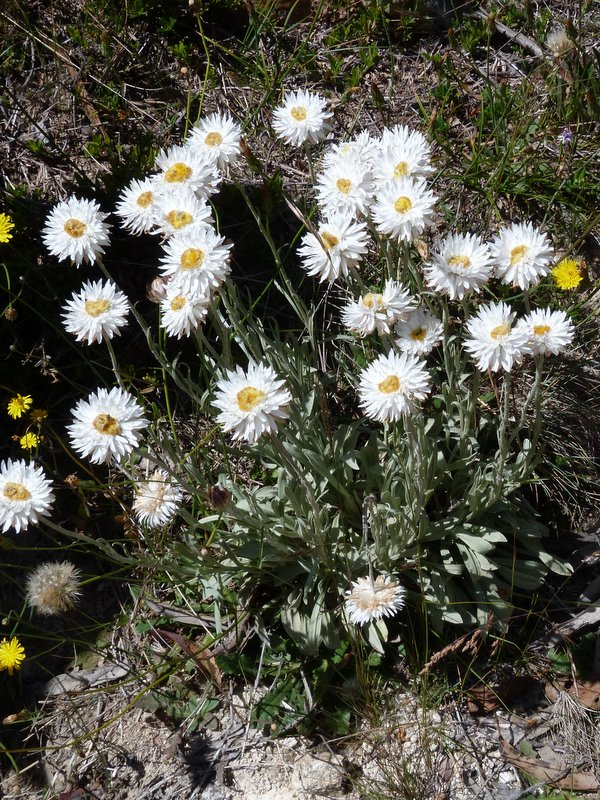Ian fraser talking naturally an alphabet of white flowers snow daisies brachyscome nivalis namadgi national park australian capital territory another species from the south eastern alps and nothing in the rules mightylinksfo