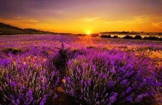 Foto Bunga Lavender Ungu yang Indah 5