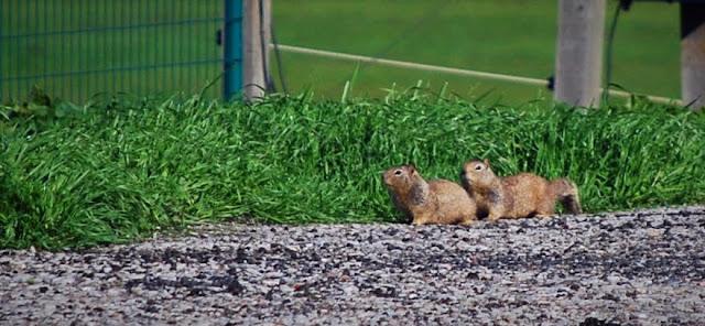 California Ground Squirrels